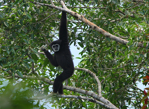 Global Spirit: GS01WGTH Project White handed Gibbons in Thailand ...