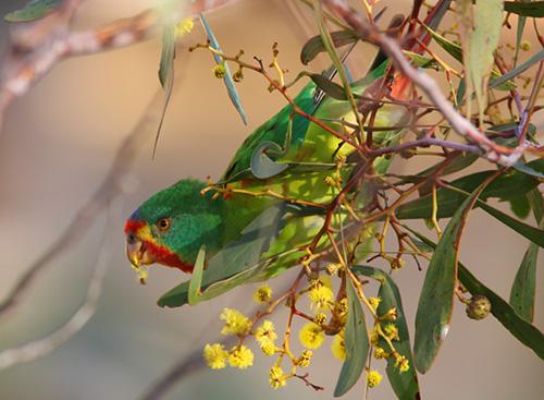 Swift Parrot (Lathamus discolor) feeding in wattle