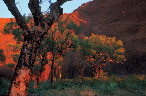 Bloodwoods at Uluru