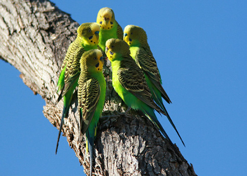 Parakeet Forum Training Budgies • View topic - Budgerigar FAQ