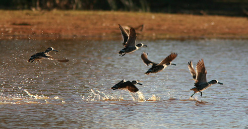Pink-eared Ducks take wing