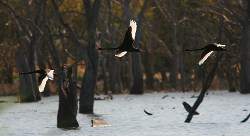 Black Swans fly past