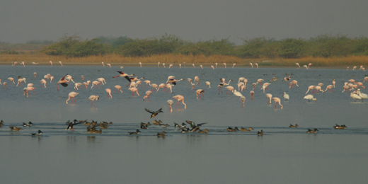 Flamingos and other waterfowl on a Rann wetland