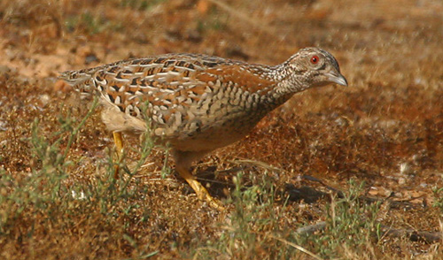 Male Painted Button Quail