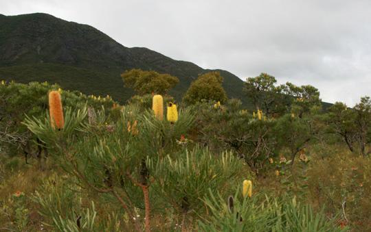 Banksia blossoms at Stirling Range