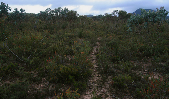 Kangaroo path through the heathlands