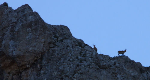 Ibex on the clifftop