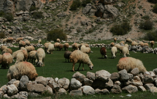 Sheep flock on the high pastures in Turkey