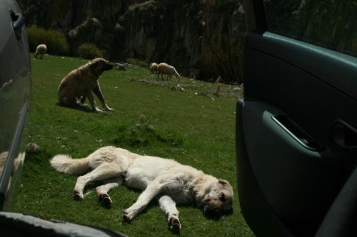 Kangal sheepdogs of Turkey