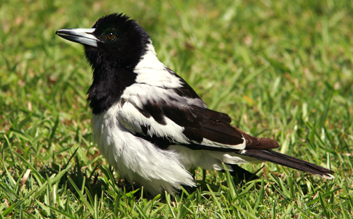 Pied Butcherbird sunning itself in a suburban garden