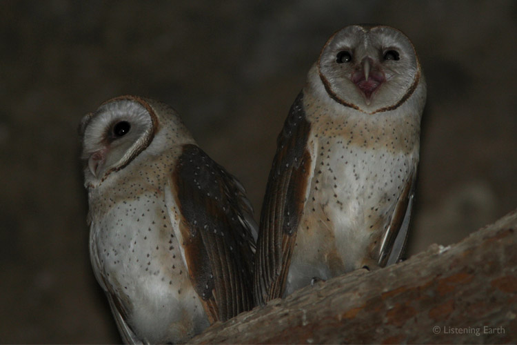 Two juvenile Barn Owls...