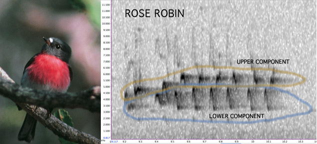 Rose Robin sonogram