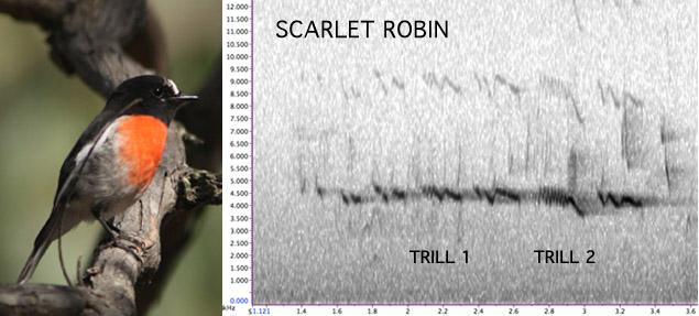 Scarlet Robin sonogram