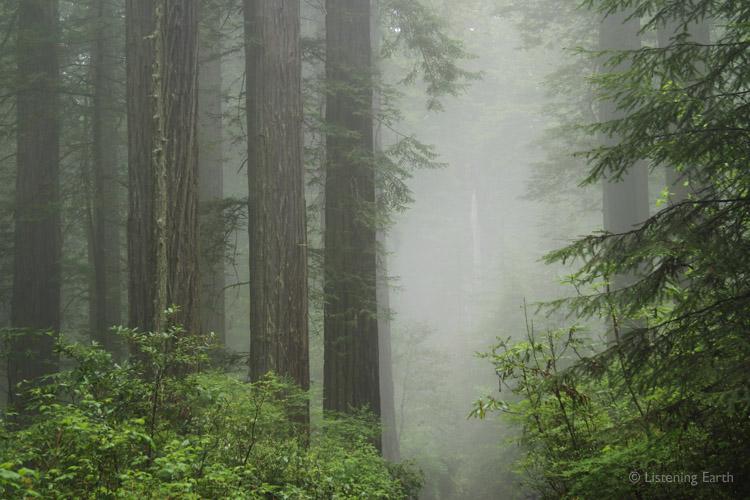 http://www.listeningearth.com/blog_images/2013_07/redwoods1.jpg